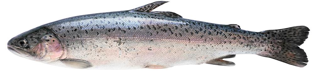 Bild eines Lachs