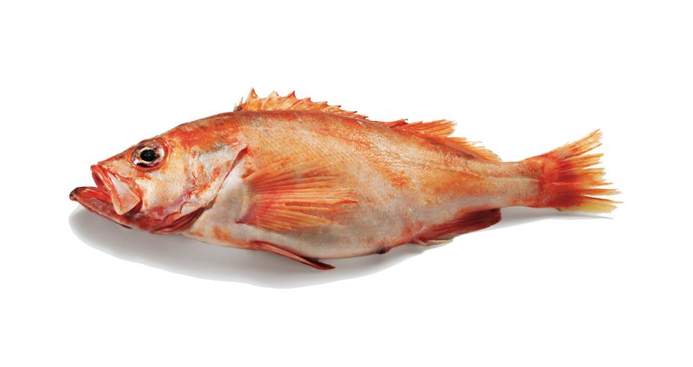 Bild eines Rotbarschs