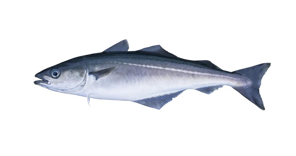 Bild eines Seelachs