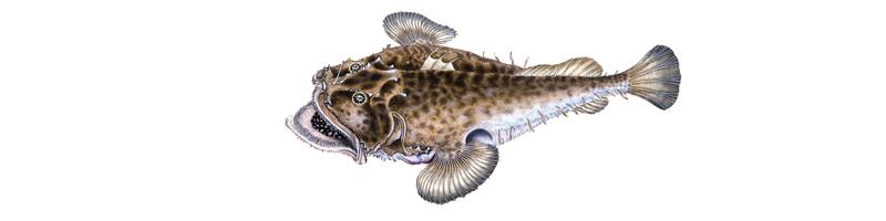 Zeichnung eines Seeteufels