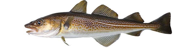 Bild eines Skrei (Fisch)